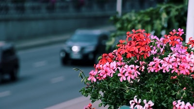 Close-up on flowers and blurred background of city traffic